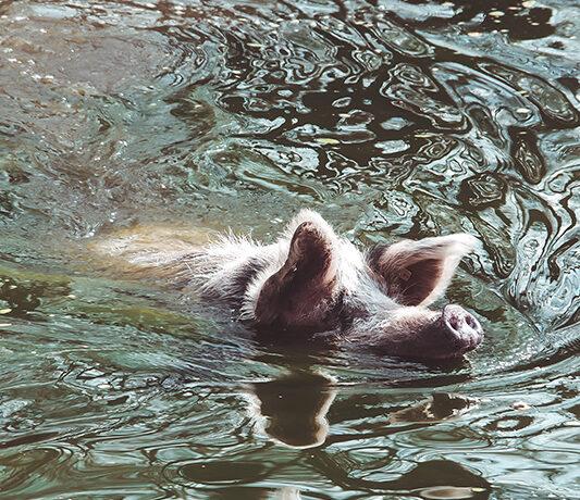 Schwimmendes Schwein Arche Warder Tierpark